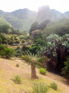 Cycad in Kirstenbosch