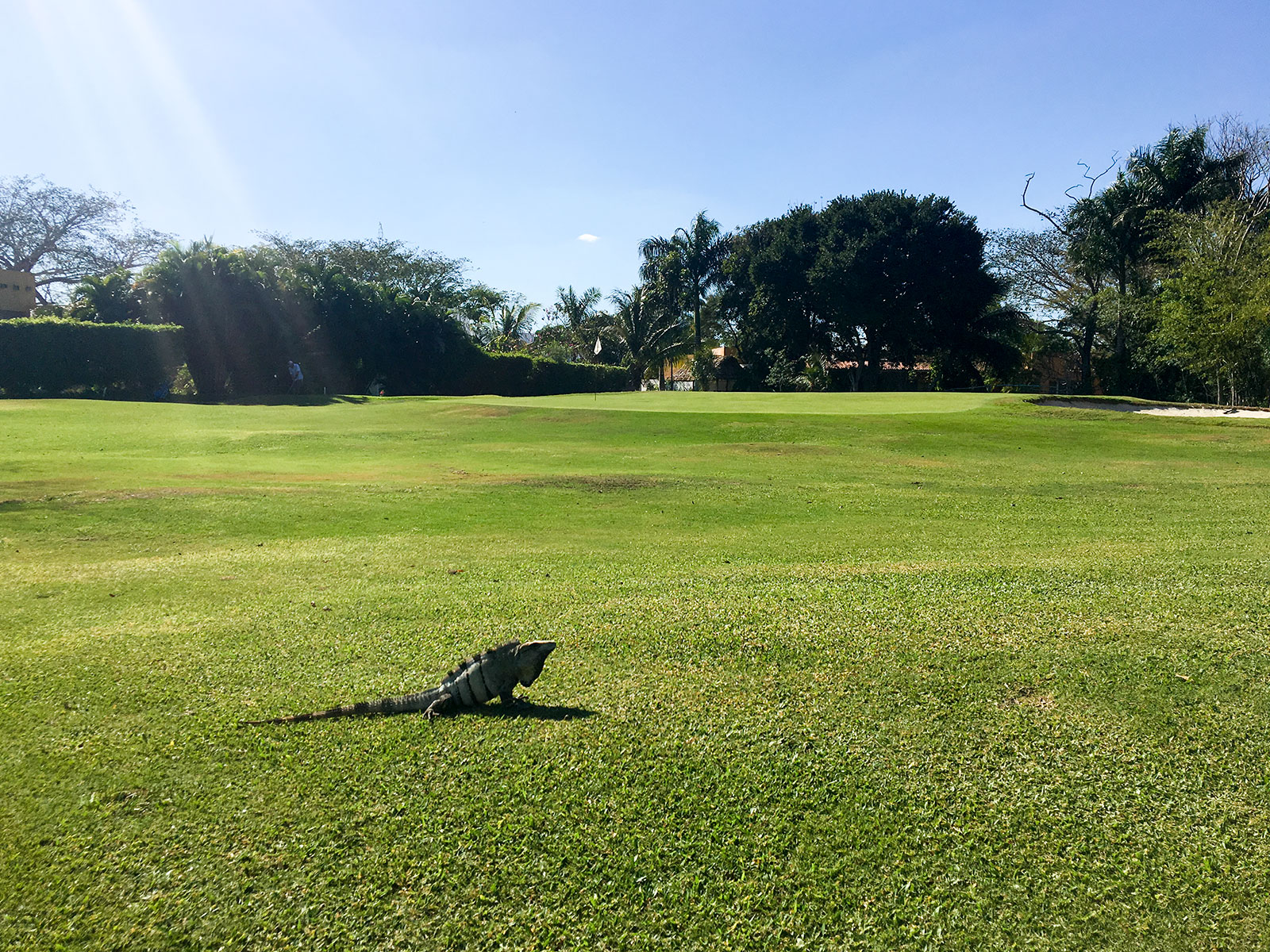 iguana on green number 7