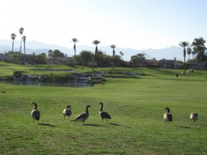 geese on the golf course