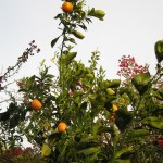Quite a few oranges on the tree.